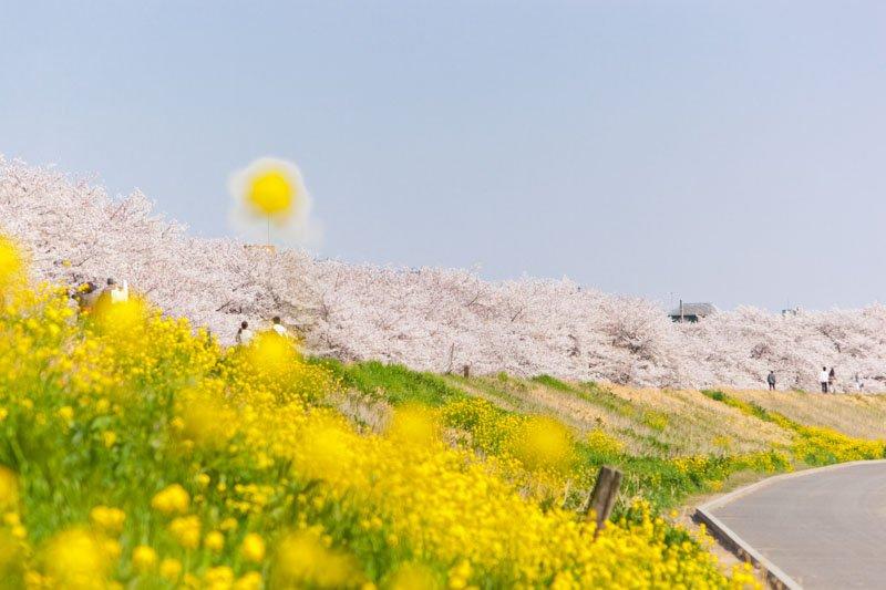 「熊谷さくら祭」の開催される熊谷桜堤